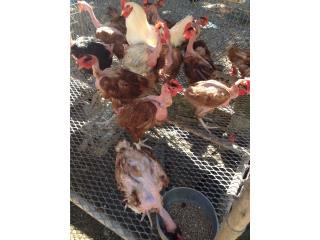 14 gallinas ponedoras pirocas, Family Pets