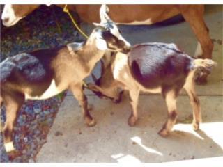 cabritos 10 semanas mix alpino, Family Pets