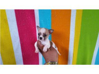 Chihuahua toy Apple macho, CHIHUAHUAS' SPOT