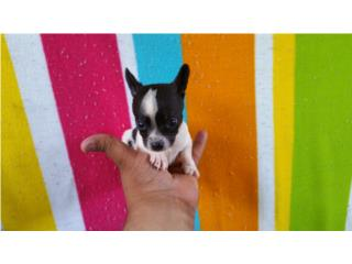 Chihuahua toy Apple head macho, CHIHUAHUAS' SPOT