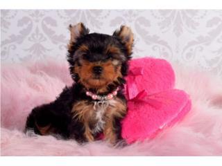 Puerto Rico Yorkies $1200 , Perros Gatos y Caballos