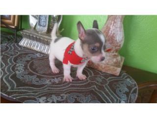 Chihuahua nene blanco y blue, LITTLE PET SHOP