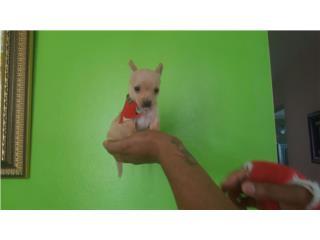 Chihuahua nene crema , LITTLE PET SHOP