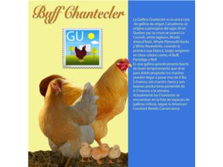 Pollitos de Gallinas BUFF CHANTECLER, GALLINAS URBANAS
