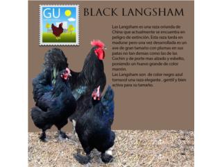Pollitas de Black Langsham, GALLINAS URBANAS