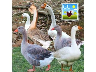 Gansitos Toulouse y Africanos 787-647-4447, GALLINAS URBANAS