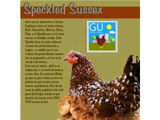 Venta de pascuaPollitas de gallinas Speckle Sussex, GALLINAS URBANAS