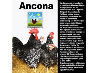 Pollitas de Gallinas ANCONAS, GALLINAS URBANAS
