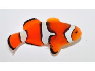 Tremendo lote de Clownfish, AQUARIUM XTRA