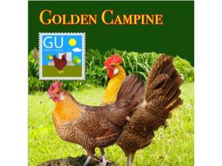 Golden Campines Gallinas Exoticas 647-4447, GALLINAS URBANAS