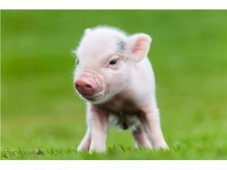 Clasificados Online Mascotas MINI PIGS PUERTO RICO