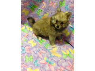 Pomeranian nena con papeles , Family Pets