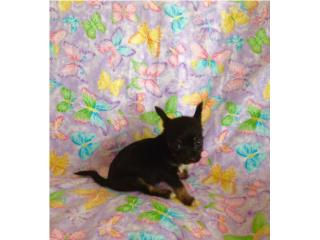 Chihuahua long hair  con papeles , Family Pets