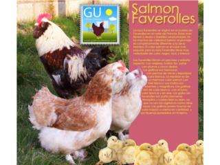 Pollitas Ponedoras Salmon Faverolles(huevo rosado), GALLINAS URBANAS