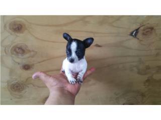 Chihuahua hembra toy pinta  Puerto Rico