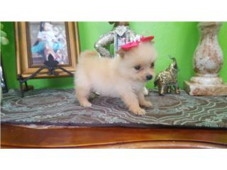 Pomeranian NENA MICRO crema con papeles  Puerto Rico