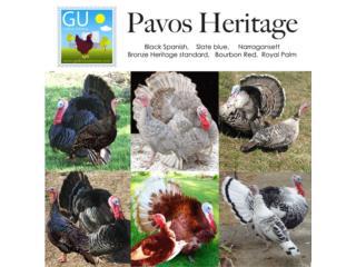 PAVITOS  Heritage varais razas, GALLINAS URBANAS