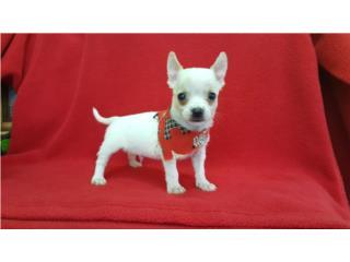 Chihuahua nene BLANCO con papeles , LITTLE PET SHOP