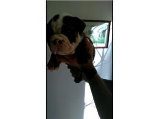 English Bulldog Hembra hermosa, Bullyon Bulldogs