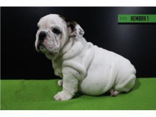 English Bulldog Hembra Hermosa importada, Bullyon Bulldogs