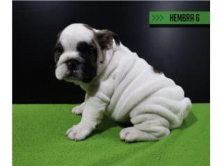 English Bulldog Hembra importada, Bullyon Bulldogs