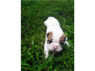 English Bulldog Hermosa importada, Bullyon Bulldogs