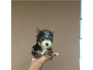 YORKIE PARTY COLOR MACHITO , Pet Palace