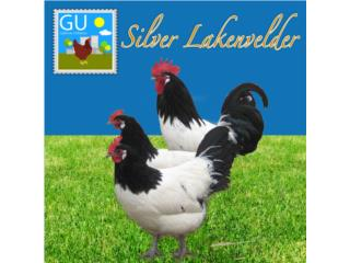 Pollitas de gallinas Silver Lakenvelder, GALLINAS URBANAS