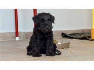 Puerto Rico MINI SCHNAUZERS-CAMPEONES-EUROPA-EUA, Perros Gatos y Caballos