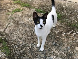 Puerto Rico Hermoso Gatito para Adopción Vacunado!, Perros Gatos y Caballos