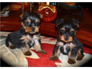 Puerto Rico Yorkie Toy Hermoso, Perros Gatos y Caballos