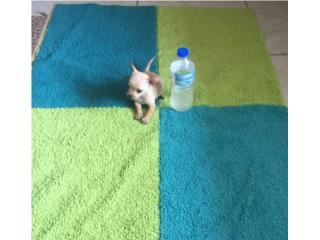 CHIHUAHUA BOLSILLO NENE BONE WHITE, Dogs
