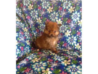 Pomeranian nena con papeles $450, Family Pets