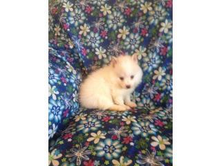 Pomeranian macho con papeles , Family Pets