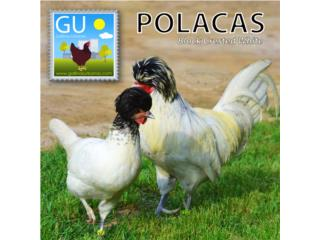 Pollitos POLACAS Blanca Moña Negra 787-647-4447, GALLINAS URBANAS