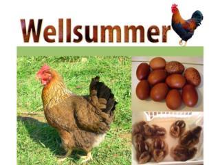 Pollitas Weelsummer/huevos chocolate pintos , GALLINAS URBANAS