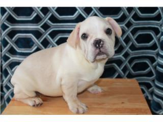 FRENCH BULLDOG PUPPY , Mascotas Puerto Rico
