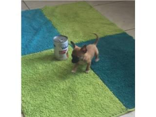CHIHUAHUA BOLSILLO NENE CARAMELO , Dogs