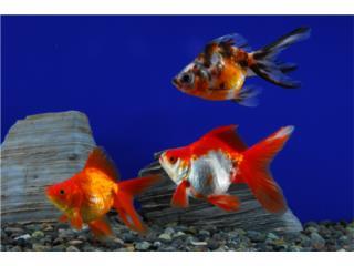 Ryukin Goldfish, AQUARIUM XTRA