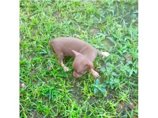 preciosa chihuahua chokotan, Family Pets