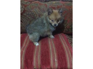 Doll face tinny Pomeranian macho, Family Pets