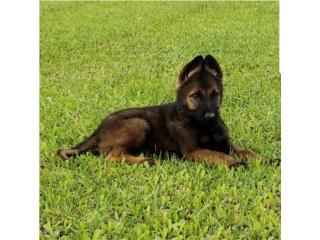 Clasificados Online Mascotas German Shepherd AKC