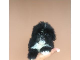 SHIH-TZU IMPERIAL EXCELENTE CALIDAD (NENE), Pets