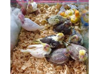muchos cockatiel,lovebirds y cotorritas, Isabela Pet Shop
