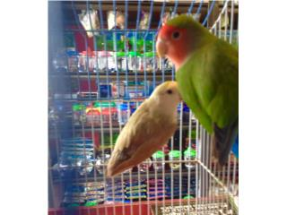 Lovebird hembra canela hembra PF, Isabela Pet Shop