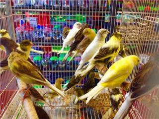 Canarios españoles de canto, Isabela Pet Shop