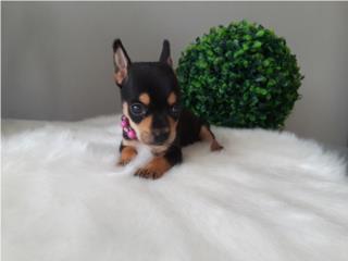 Chihuahua NENA con papeles Puerto Rico