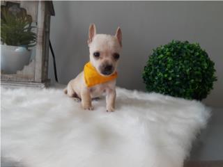 Chihuahua NENE crema con papeles , Pet Lover