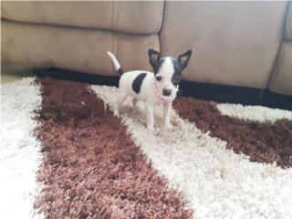 Chihuahua  NENA pinta con papeles, Pet Lover