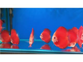 FUJI RED DISCUS, OUTLET PET CENTER & CENTRO AGRICOLA